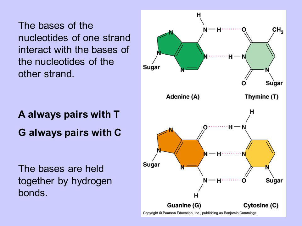 The bases of the nucleotides of one strand interact with the bases of the nucleotides of the other strand.