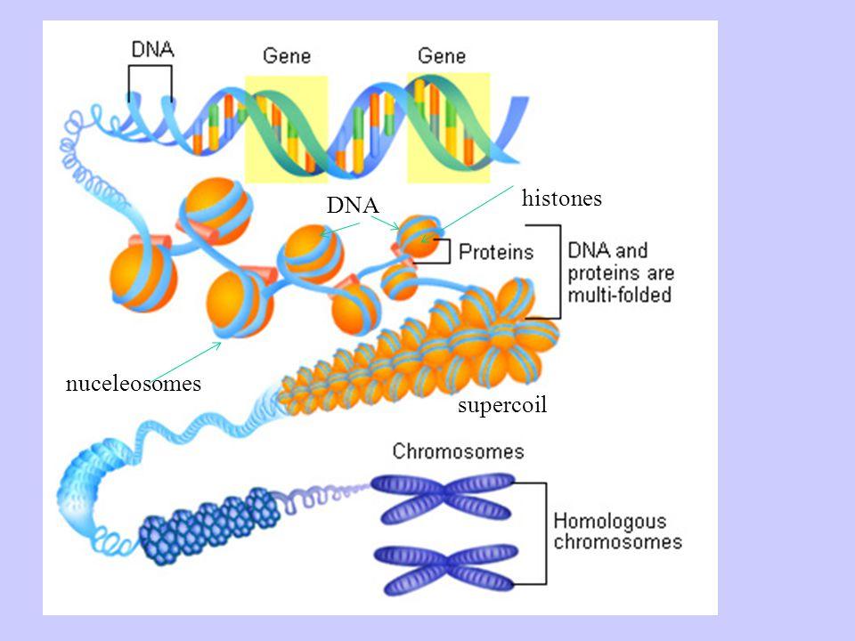 histones DNA nuceleosomes supercoil