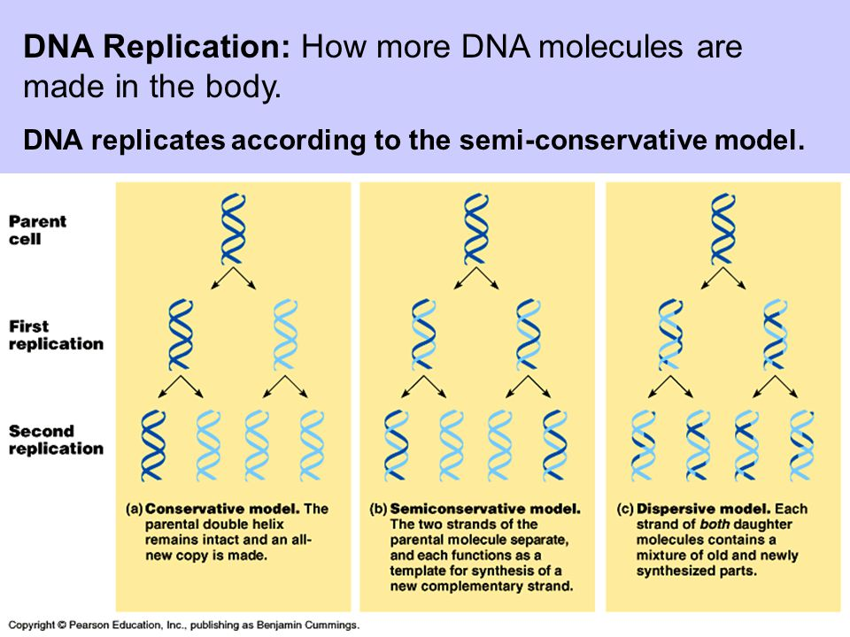 DNA Replication: How more DNA molecules are made in the body.