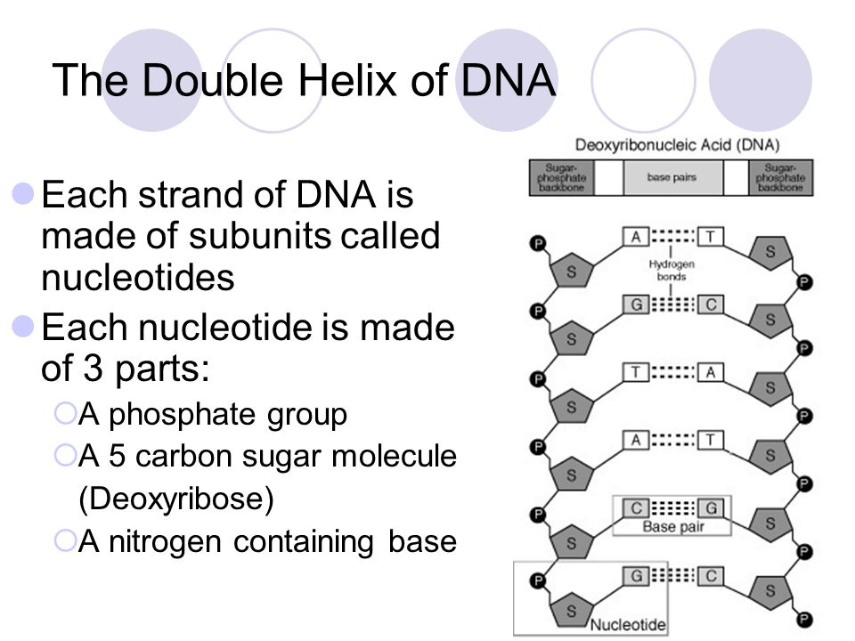The Double Helix of DNA Each strand of DNA is made of subunits called nucleotides. Each nucleotide is made of 3 parts: