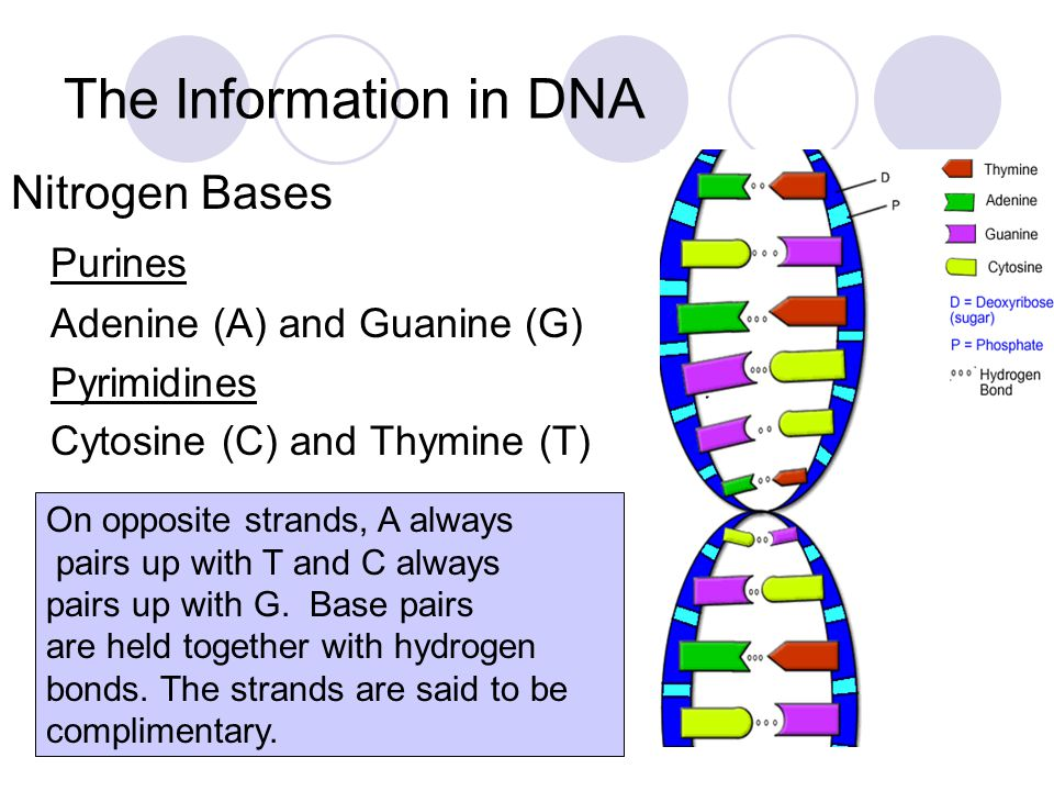 The Information in DNA Nitrogen Bases Purines