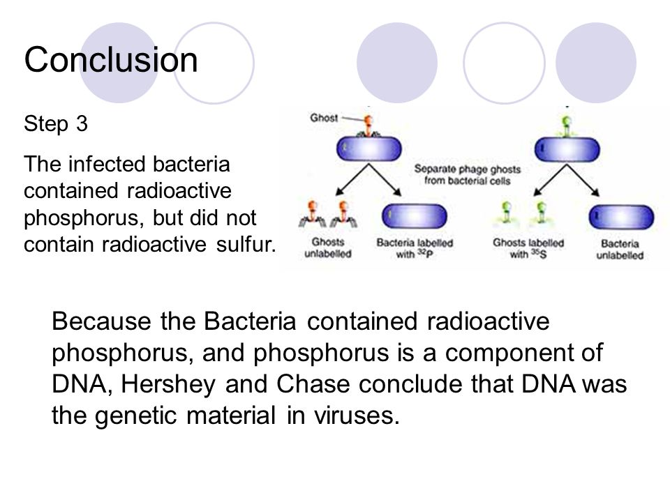 Conclusion Step 3. The infected bacteria contained radioactive phosphorus, but did not contain radioactive sulfur.
