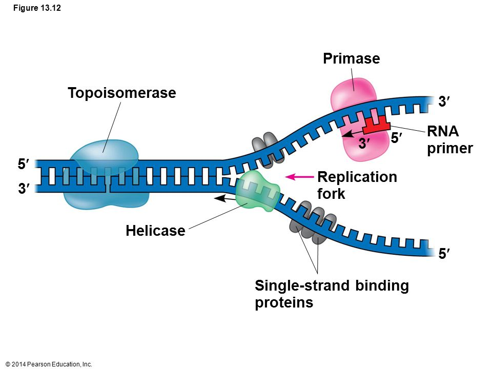 Single-strand binding proteins