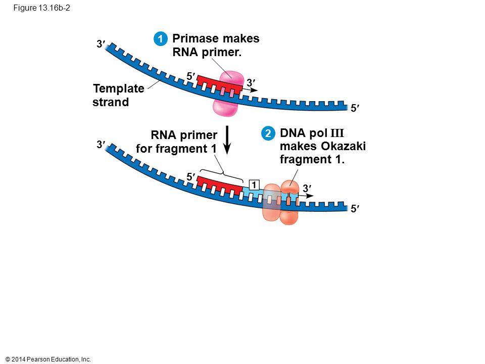 Primase makes RNA primer. Template strand RNA primer DNA pol III