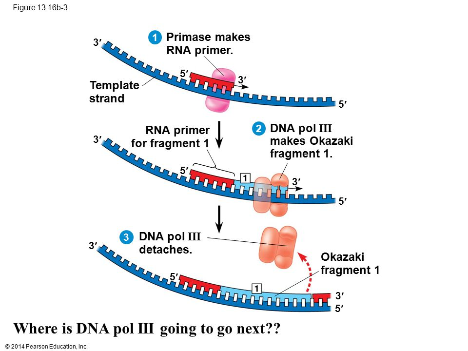 Where is DNA pol III going to go next