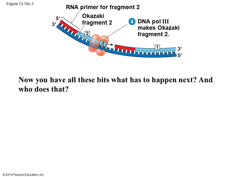 Figure 13.16c-1 RNA primer for fragment 2. Okazaki. fragment 2. 5 4. DNA pol III. makes Okazaki.