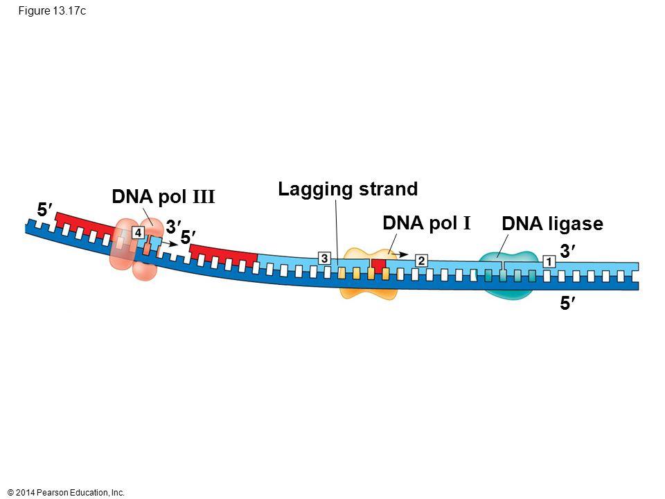 Lagging strand DNA pol III 5 3 DNA pol I DNA ligase 5 3 5