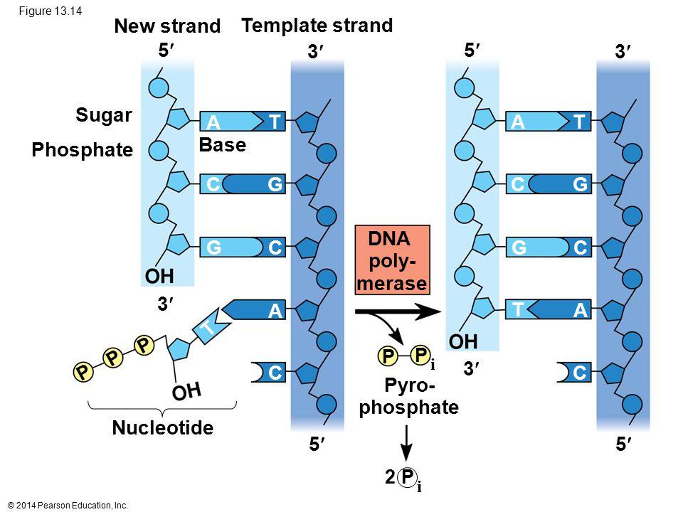 DNA poly- merase Pyro- phosphate