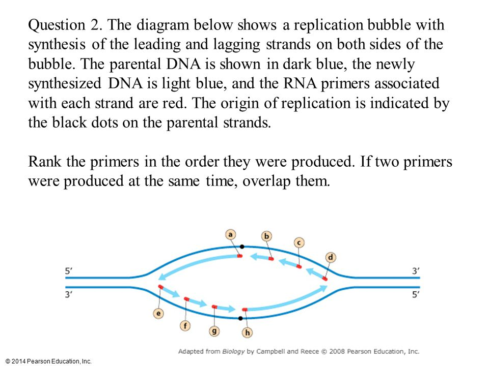 Question 2. The diagram below shows a replication bubble with synthesis of the leading and lagging strands on both sides of the bubble. The parental DNA is shown in dark blue, the newly synthesized DNA is light blue, and the RNA primers associated with each strand are red. The origin of replication is indicated by the black dots on the parental strands.