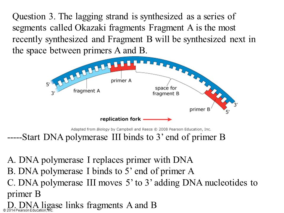 Question 3. The lagging strand is synthesized as a series of segments called Okazaki fragments Fragment A is the most recently synthesized and Fragment B will be synthesized next in the space between primers A and B.