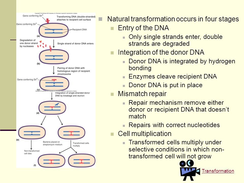 Natural transformation occurs in four stages Entry of the DNA