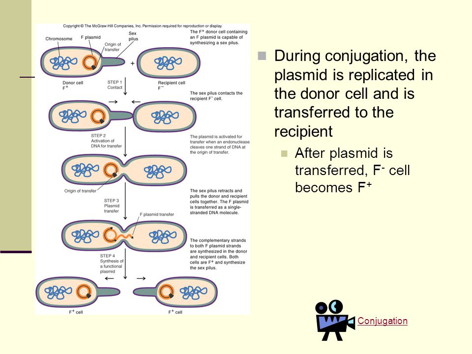 During conjugation, the plasmid is replicated in the donor cell and is transferred to the recipient