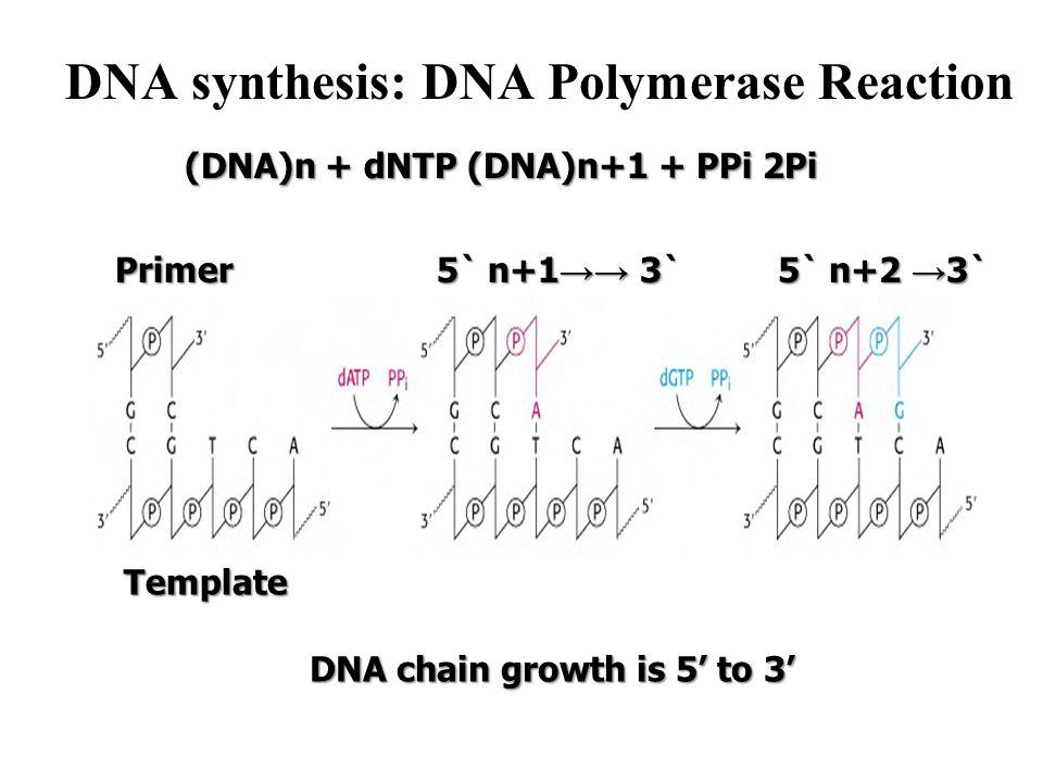 DNA synthesis: DNA Polymerase Reaction