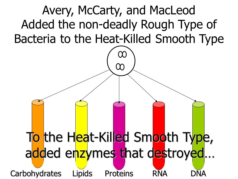 To the Heat-Killed Smooth Type, added enzymes that destroyed…