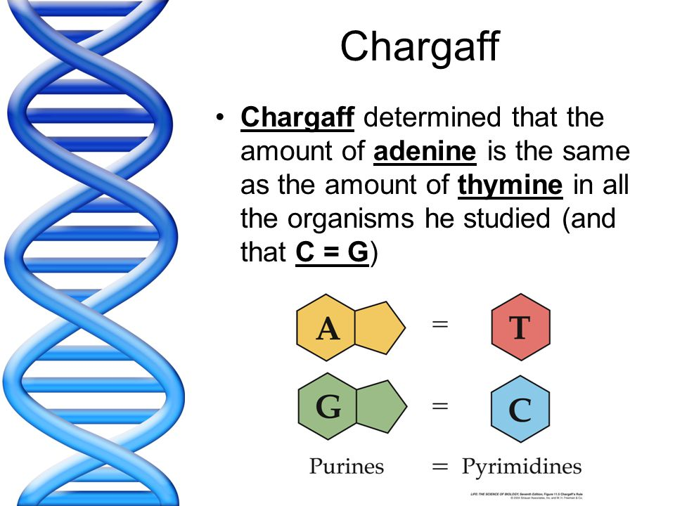 Chargaff Chargaff determined that the amount of adenine is the same as the amount of thymine in all the organisms he studied (and that C = G)