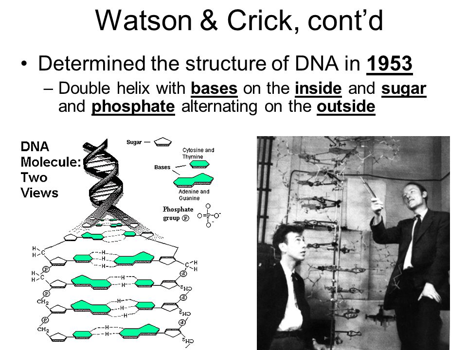Watson & Crick, cont'd Determined the structure of DNA in 1953