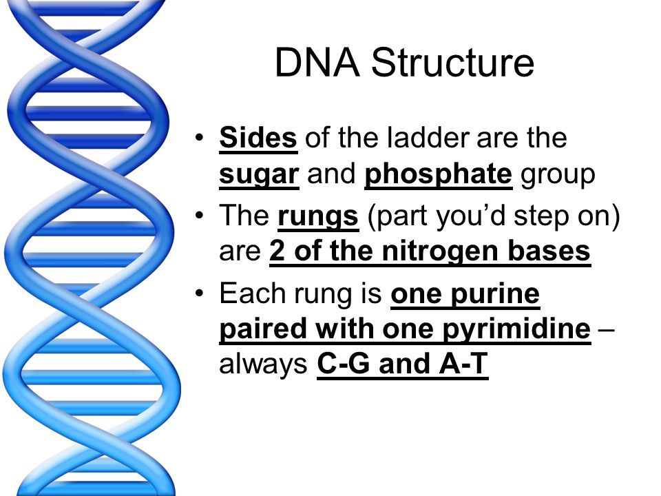 DNA Structure Sides of the ladder are the sugar and phosphate group