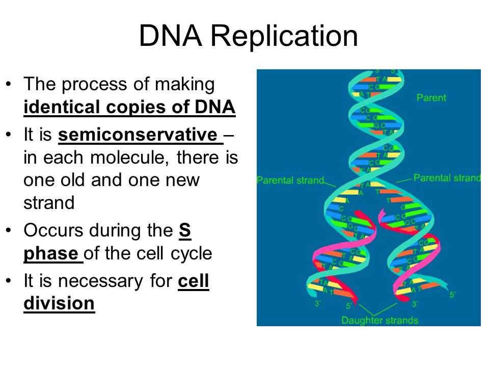 DNA Replication The process of making identical copies of DNA