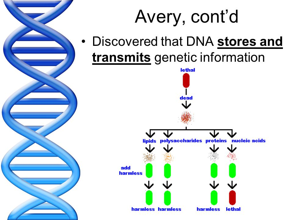 Avery, cont'd Discovered that DNA stores and transmits genetic information