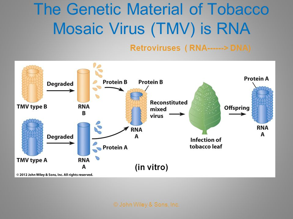 The Genetic Material of Tobacco Mosaic Virus (TMV) is RNA