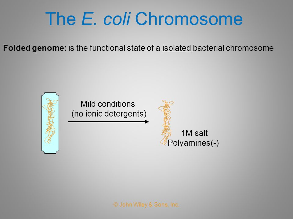 The E. coli Chromosome Folded genome: is the functional state of a isolated bacterial chromosome. Mild conditions.