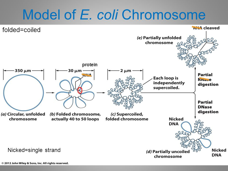 Model of E. coli Chromosome