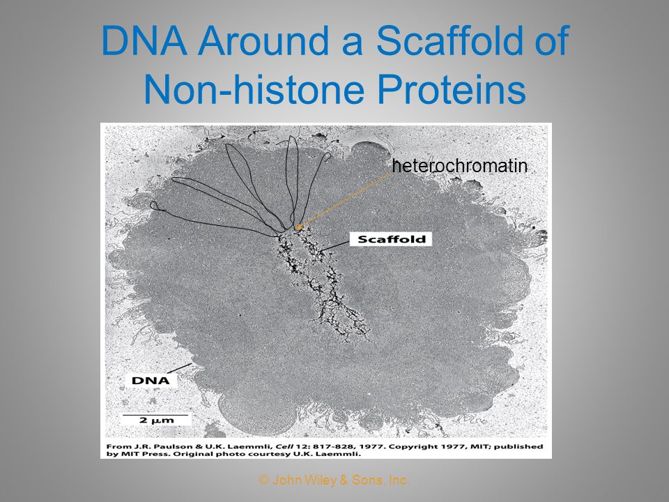 DNA Around a Scaffold of Non-histone Proteins