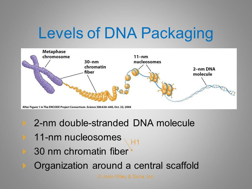 Levels of DNA Packaging