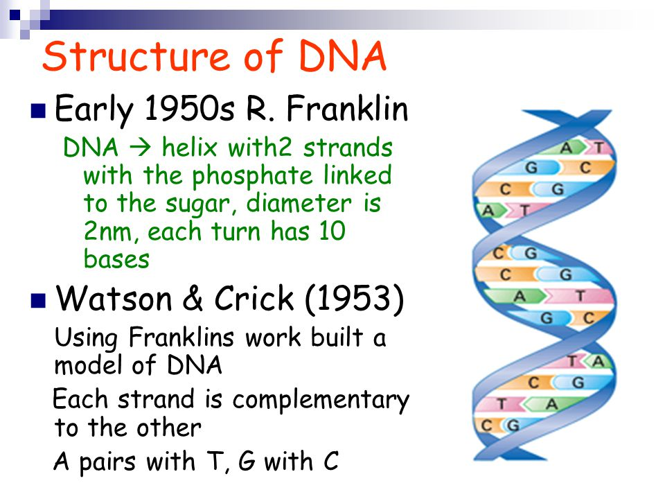Structure of DNA Early 1950s R. Franklin Watson & Crick (1953)