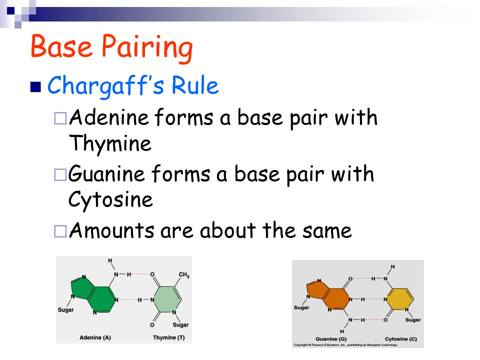 Base Pairing Chargaff's Rule Adenine forms a base pair with Thymine