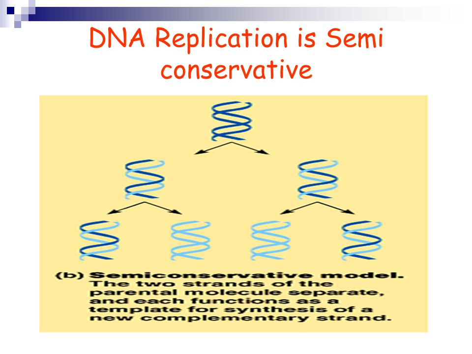 DNA Replication is Semi conservative