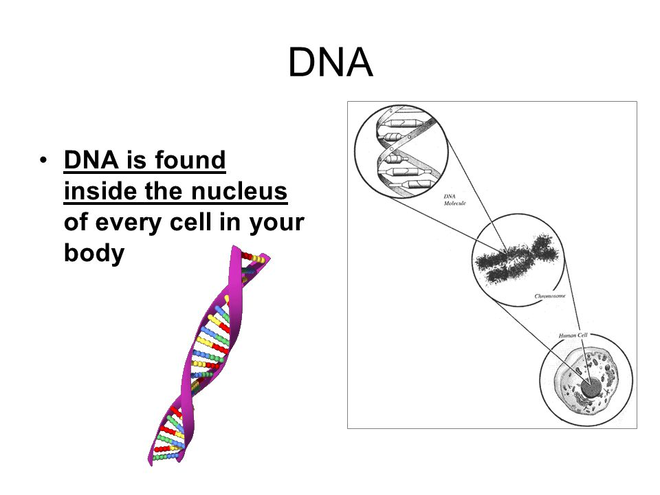 DNA DNA is found inside the nucleus of every cell in your body