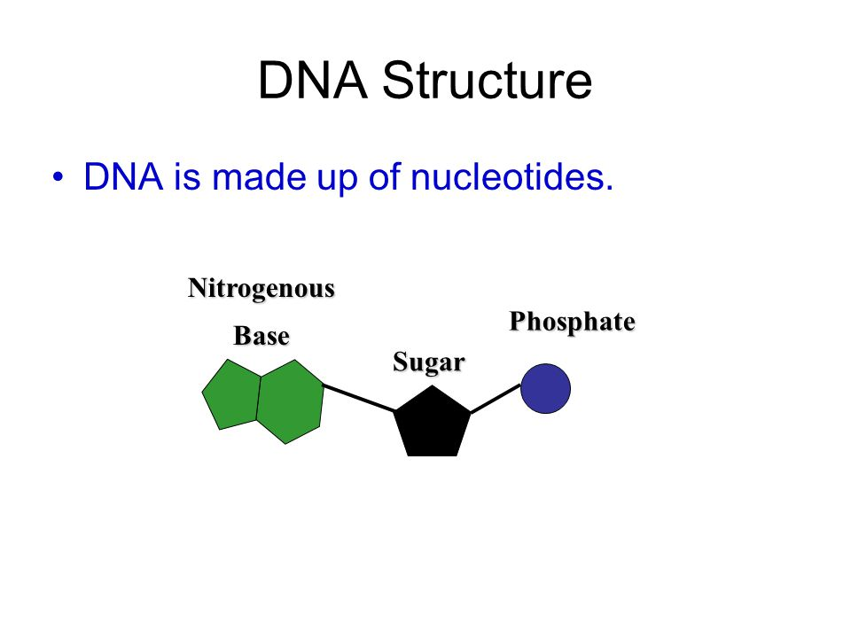 DNA Structure DNA is made up of nucleotides. Nitrogenous Base