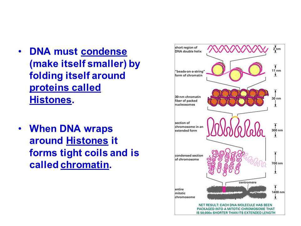 DNA must condense (make itself smaller) by folding itself around proteins called Histones.