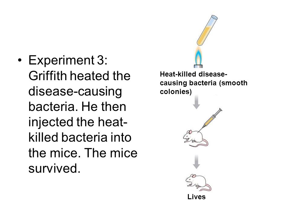 Experiment 3: Griffith heated the disease-causing bacteria