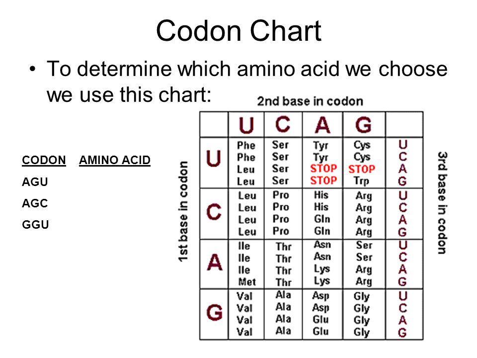 Codon Chart To determine which amino acid we choose we use this chart: