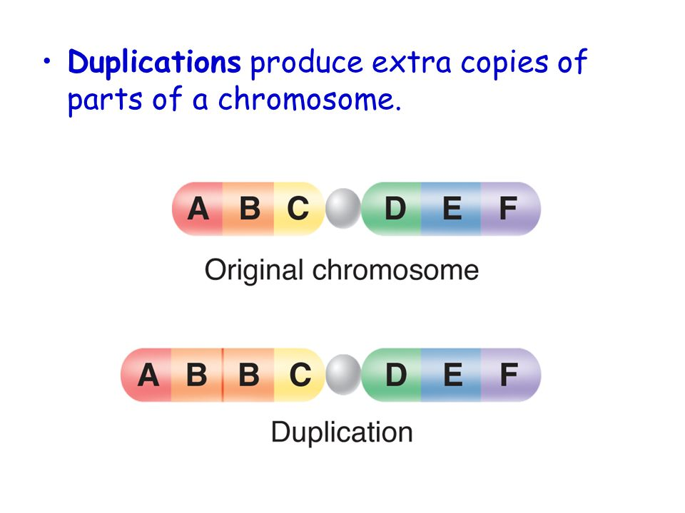 Duplications produce extra copies of parts of a chromosome.