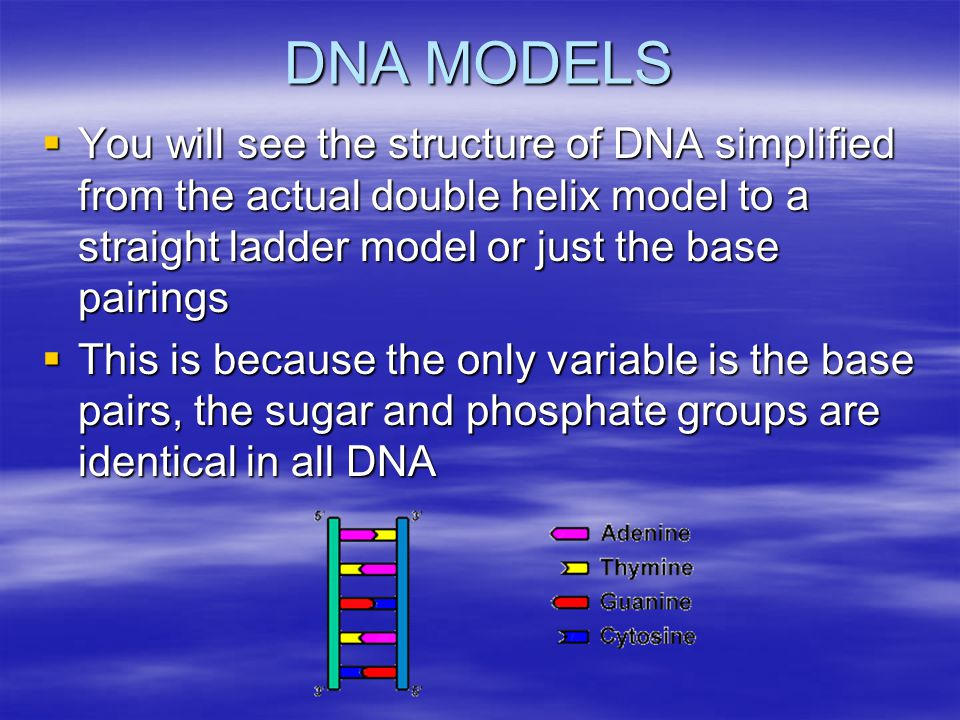 DNA MODELS You will see the structure of DNA simplified from the actual double helix model to a straight ladder model or just the base pairings.