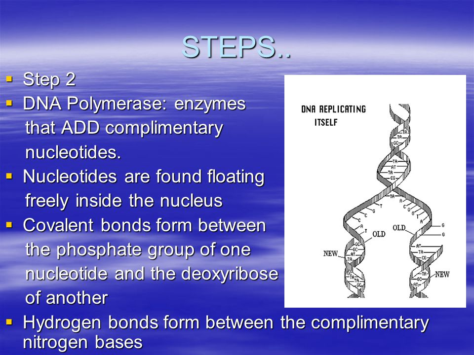 STEPS.. Step 2 DNA Polymerase: enzymes that ADD complimentary