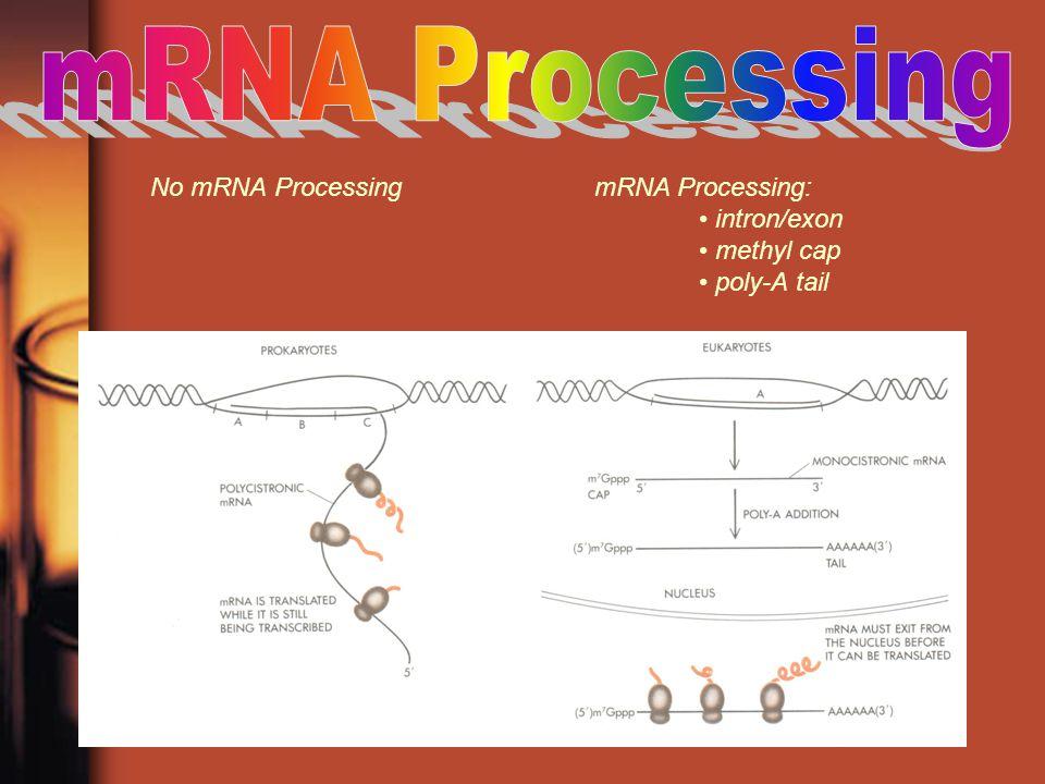 mRNA Processing No mRNA Processing mRNA Processing: • intron/exon