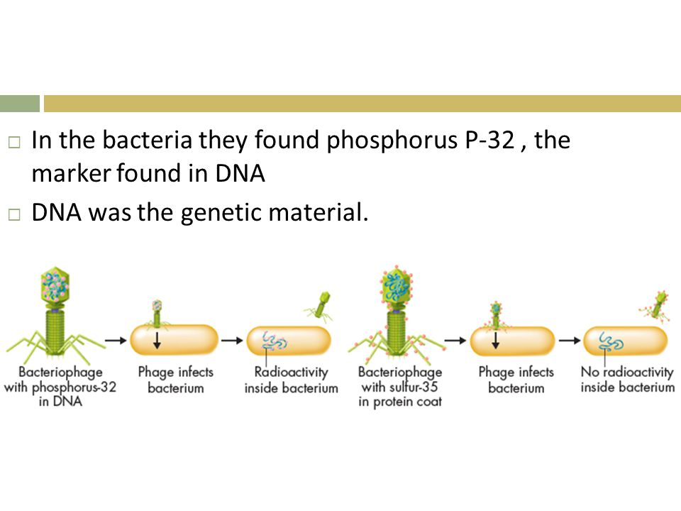 In the bacteria they found phosphorus P-32 , the marker found in DNA