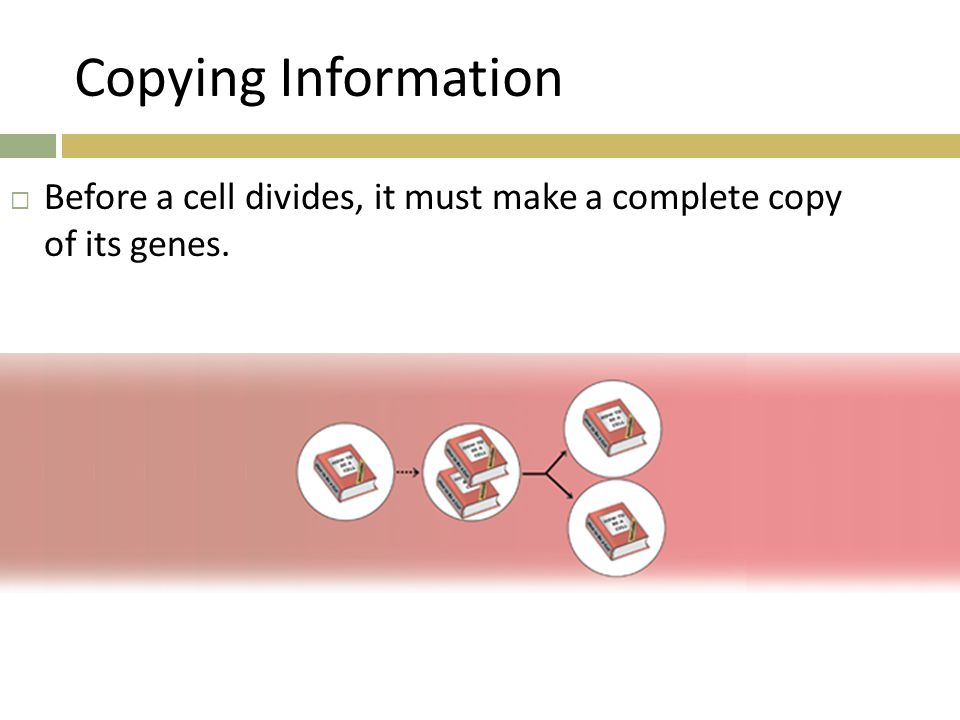 Copying Information Before a cell divides, it must make a complete copy of its genes.