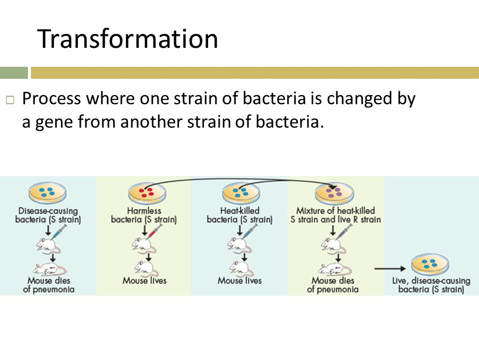 Transformation Process where one strain of bacteria is changed by a gene from another strain of bacteria.