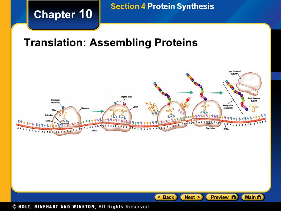 Translation: Assembling Proteins