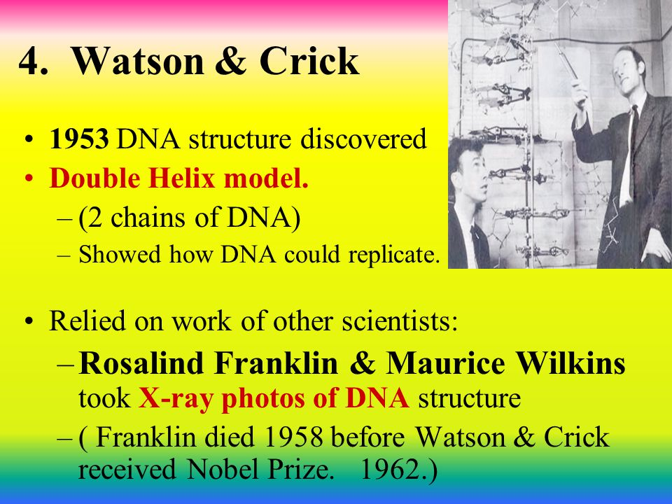 4. Watson & Crick 1953 DNA structure discovered. Double Helix model. (2 chains of DNA) Showed how DNA could replicate.
