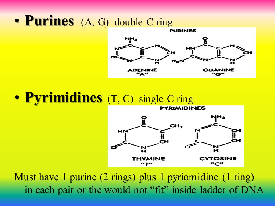 Purines (A, G) double C ring