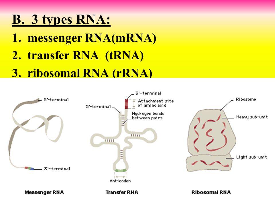B. 3 types RNA: 1. messenger RNA(mRNA) 2. transfer RNA (tRNA)