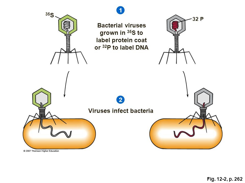 Viruses infect bacteria
