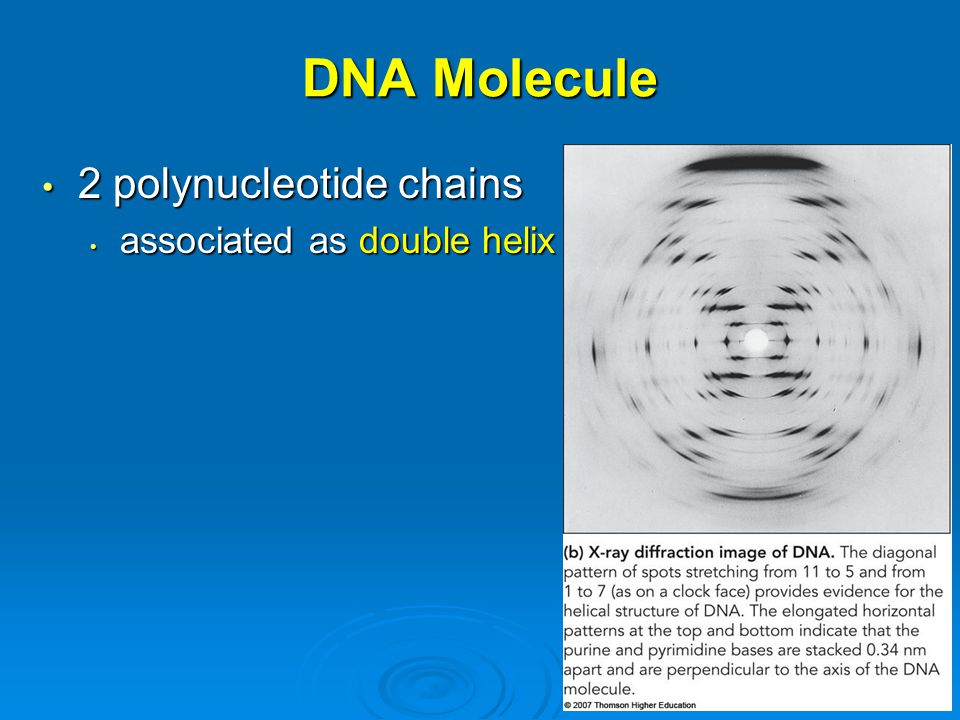 DNA Molecule 2 polynucleotide chains associated as double helix