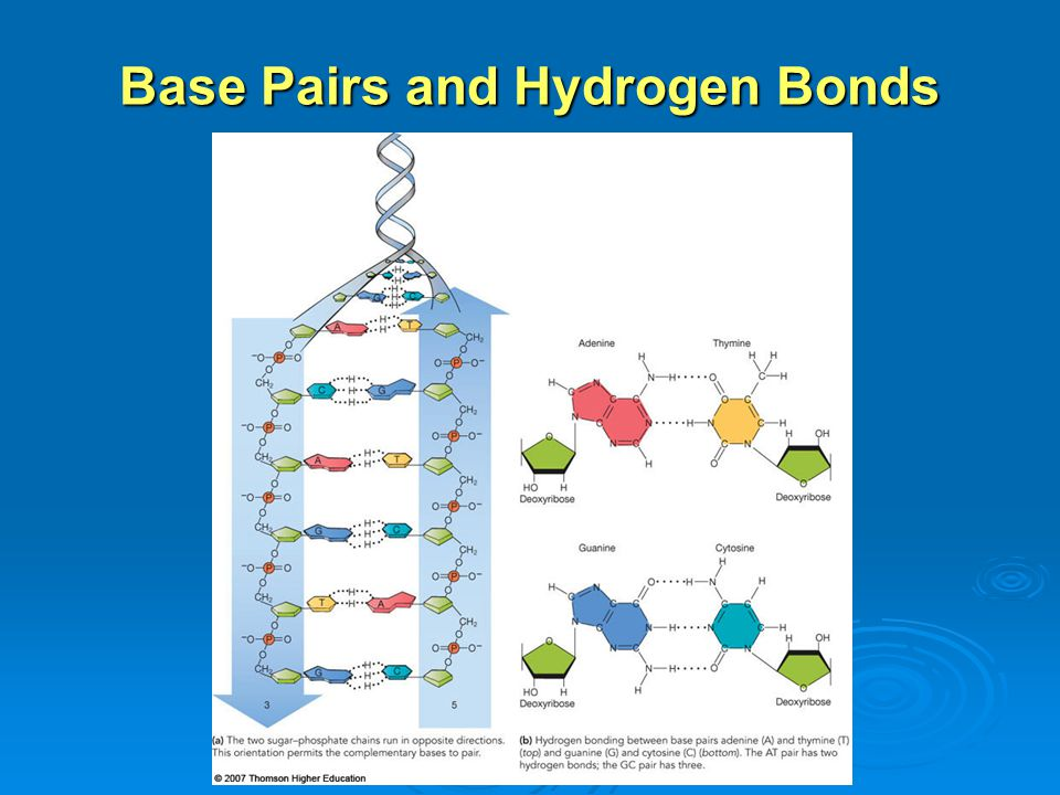 Base Pairs and Hydrogen Bonds